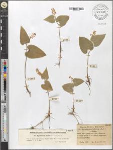 Majanthemum bifolium (L.) F. W. Schm.
