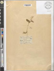 Majanthemum bifolium (L.) D. C.