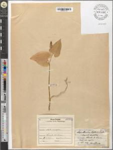 Majanthemum bifolium (L.) DC.