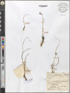 Lloydia serotina (L.) Rchb.