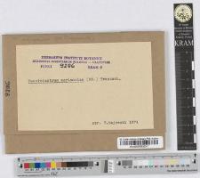 Pucciniastrum Agrimoniae (DC) Lagerheim.