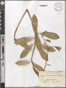 Lilium martagon L.
