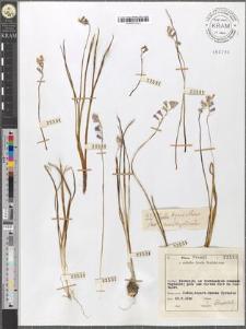 Hyacinthus amethystinus