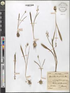 Hyacinthus leucophaeus Stev.