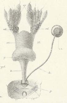 Rozwój przewodów organów płciowych u owadów