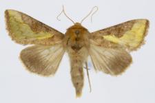 Thysanoplusia orichalcea