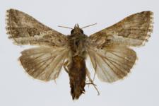 Trichoplusia ni