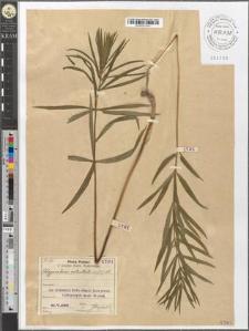 Polygonatum verticillatum (L.) All.