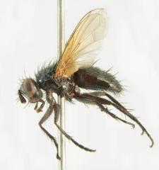 Lydina aenea (Meigen, 1824)