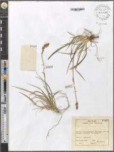 Tofieldia calyculata (L.) Wahlenb.