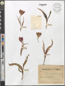 Tulipa Julia C. Koch.