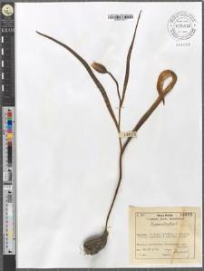 Tulipa silvestris L.