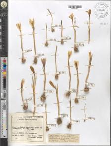 Crocus albiflorus