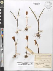Crocus vernus (L.) Hill subsp. Heuffelianus Herb. fo. tommasiniana tommasiniana