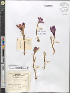 Crocus Heuffelianus Herb.