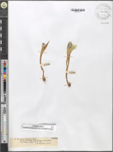Crocus Heuffelianus Herbert.