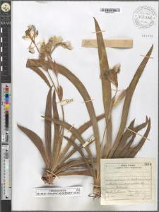 Iris aphylla L.