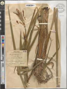 Iris pseudoacorus L.