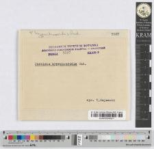 Puccinia Hypochoeridis Oud.