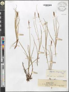 Blysmus compressus (L.) Panz.