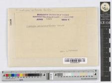 Puccinia urticae-pilosae Hasler