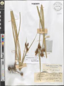 Bulboschoenus maritimus (L.) Palla