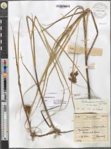 Bolboschoenus maritimus (L.) Palla var. maritimus