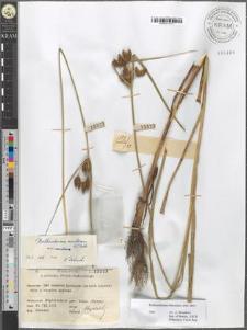 Bolboschoenus laticarpus nom. prov.