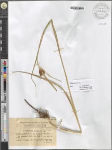 Bolboschoenus maritimus (L.) Palla var. compactus (Hoffm.) Hay..
