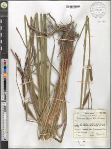 Carex acutiformis Ehrh.