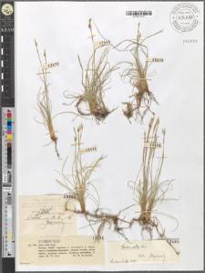 Carex alba Scop.