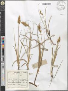 Carex arenaria L.