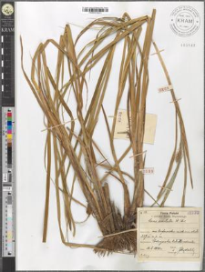 Carex aristata R. Br.