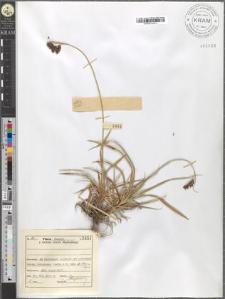 Carex atrata L.