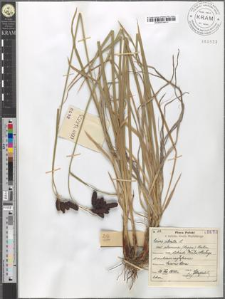 Carex atrata L. var. aterrima (Hoppe) Hartm.