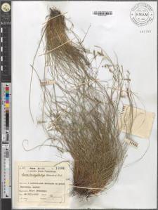 Carex brachystachys Schrank et Moll