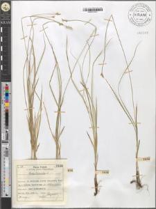 Carex brizoides L.