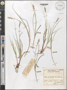 Carex brunnescens (Pers.) Poir.