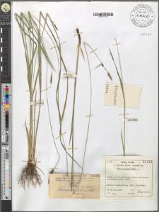 Carex caespitosa L.