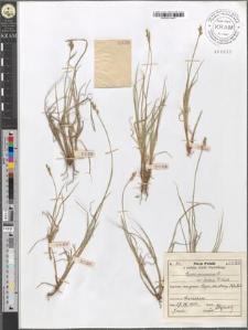 Carex canescens L. var. fallax F. Kurtz