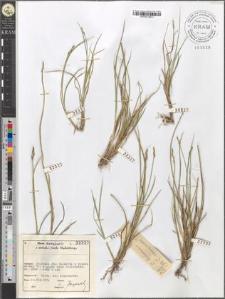 Carex ? leporina/canescens