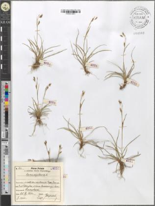 Carex capillaris L.