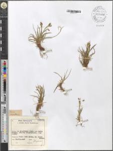 Carex capillaris