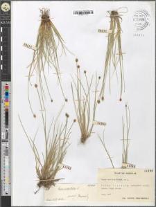 Carex capitata Soland. ex L.