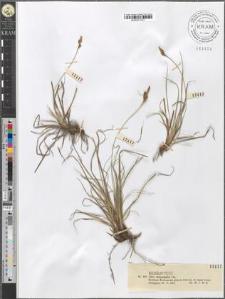 Carex caryophyllea Lat.