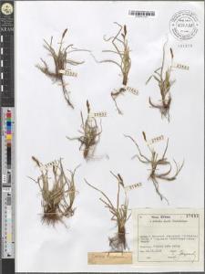 Carex verna