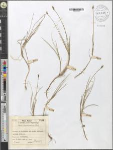 Carex chordorrhiza Ehrh.