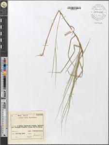 Carex chordorrhiza L. f.