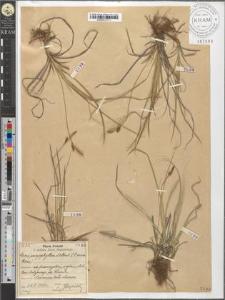 Carex caryophyllea Latour.