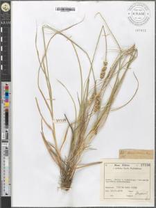 Carex compacta